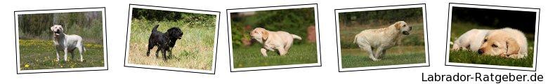 Labrador-Ratgeber.de